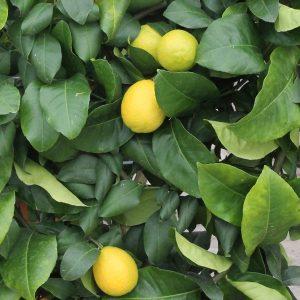 Citrom Citrus limon
