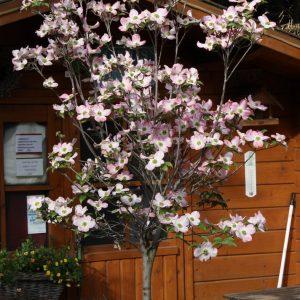 Virágos som Cornus florida Rubra