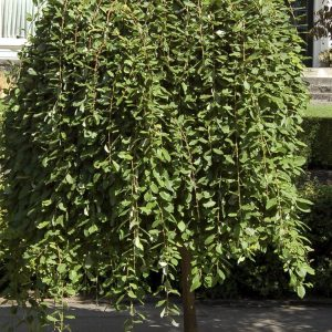 Csüngő barkafűz (kecskefűz) Salix caprea Pendula