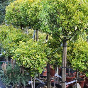 Sárgatarka levelű japán kecskerágó fa Euonymus japonicus Aurea
