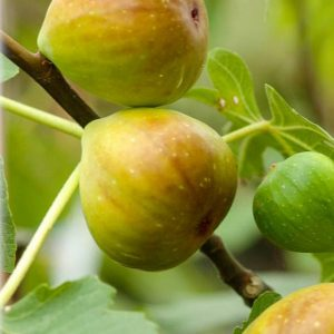 Füge Ficus carica Brogiotto Bianco