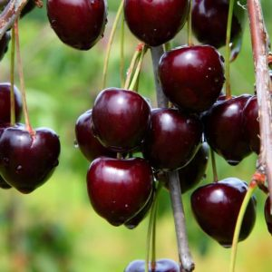 Hedelfingeni óriás cseresznye fajta