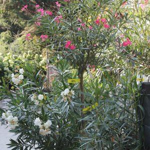 Leander Nerium oleander