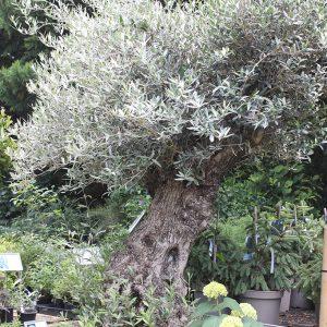 Olea europaea Olajfa bonszai