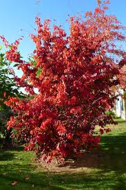 Perzsafa Tűzmadár fajta Parottia persica Tűzmadár