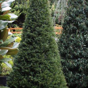 Tiszafa kúp formára nyírt Taxus baccata