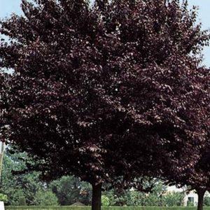 Vérszilva Prunus cerasifera Nigra