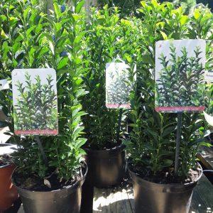 Oszlopos japán kecskerágó Euonymus japonicus Green Spire