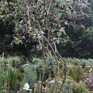 Örökzöld bangita viburnum-rythidophilloides-willowood