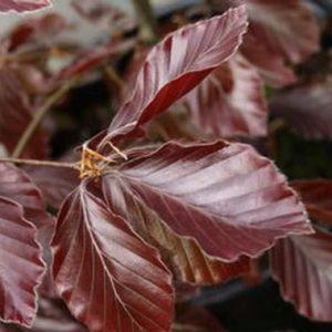 Vöröslevelű bükk Fagus sylvatica Riversii
