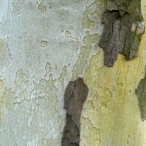 Platánfa kéreg Platanus x acerifolia