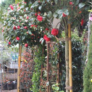 Kamélia fa Camellia japonica