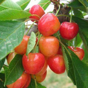 Cseresznye Core de Pigeon fajta