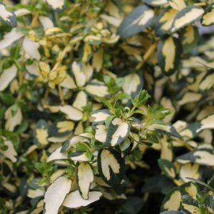 Aranysárga-tarka lombú kecskerágó Euonymus fortunei Blondy