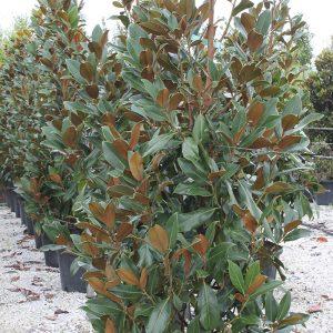 Örökzöld liliomfa Magnolia grandiflora Goliath