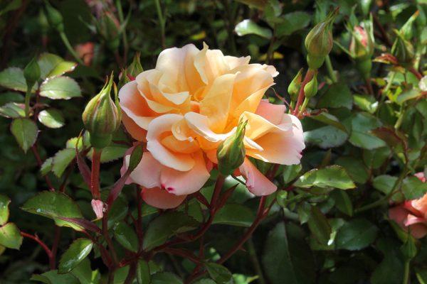 Talajtakaró rózsa Rosa Cubana