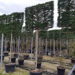 Leylandi ciprus fa, korona fa táblára futtatva