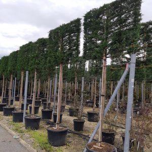 Leylandi ciprus fa korona fa táblára metszett