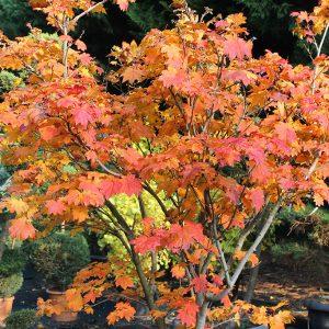 Telihold juhar Acer japonicum Vitifolium