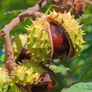 Közönséges vadgesztenye termés Aesculus hippocastanum
