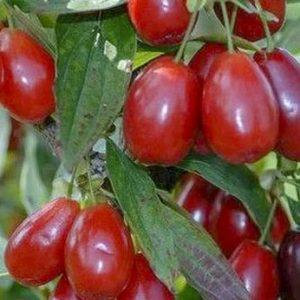Húsos som, ehető termésű Cornus mas Kasanlak