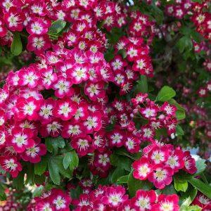 Galagonya piros-fehér virágú Crataegus laevigata Crimson Cloud