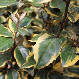 Ezüstfa sárga tarka levelű Elaeagnus ebbingeii Vivileg