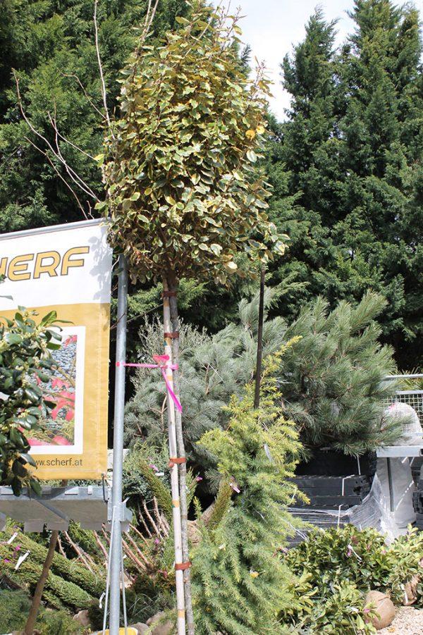 Ezüstfa sárga-tarka levelű Elaeagnus ebbingeii Vivileg