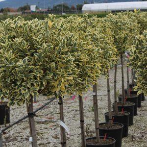 Fehértarka levelű japánkecskerágó fa Euonymus japonicus 'Bravo'
