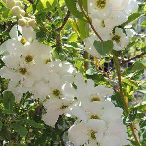 Dúsvirágú gyöngycserje Exochorda macrantha The Bride