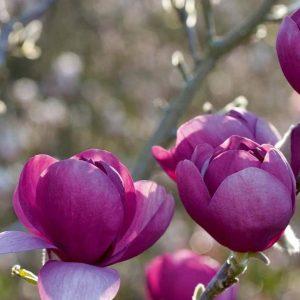 Liliomfa, sötétbordó virágú Magnolia Black Tulip
