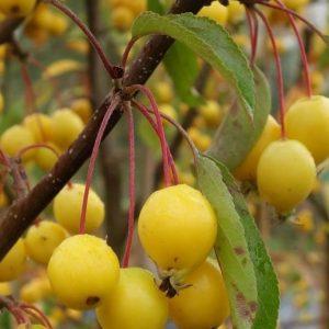 Díszalma sárga termésű Malus Wintergold