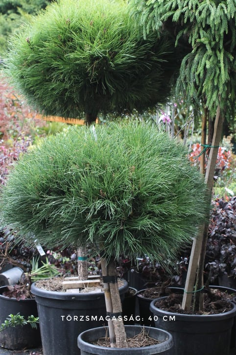 Pinus nigra Marie Bregeon mini törzses fa