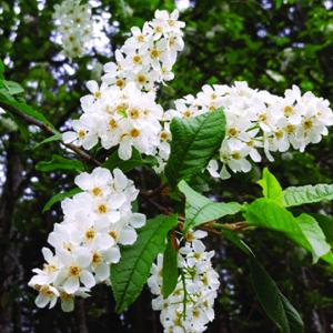Zselnicemeggy, májusfa Prunus padus