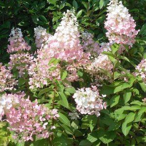 Bugás hortenzia Hydrangea paniculata 'Confetti'