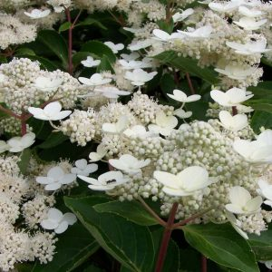 Bugás hortenzia Hydrangea paniculata Dharuma