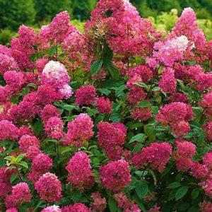 Bugás hortenzia Hydrangea paniculata 'Wim's Red'
