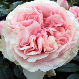 Rózsa Rosa Aphrodite