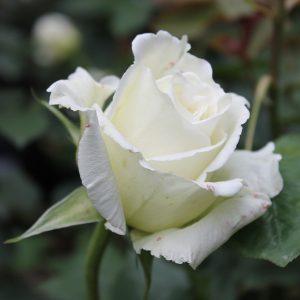 Rózsa Rosa Bianca