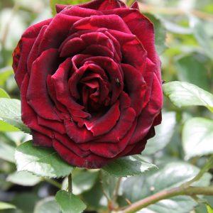 Rózsa Rosa Black Magic