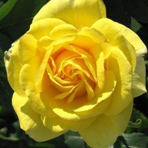 Rózsa Rosa Carte d Or