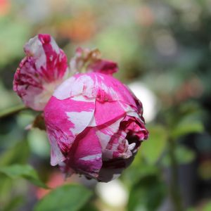 Rózsa Rosa cristata