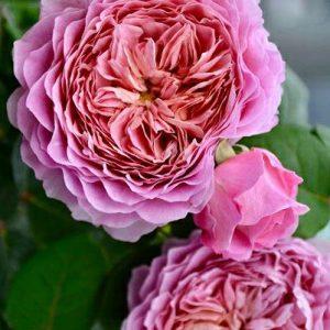 Rózsa Rosa Eisvogel