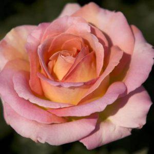 Rózsa Rosa Elle