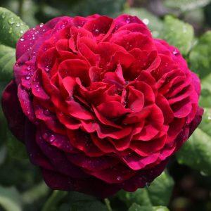 Rózsa Rosa Gräfin von Hardenberg