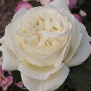 Rózsa Rosa Jeanne Moreau