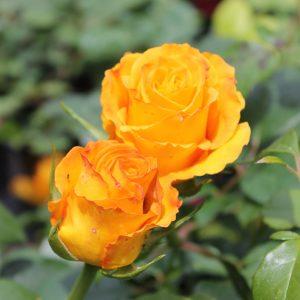 Rózsa Rosa Kerio