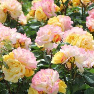 Rózsa Rosa Lampion