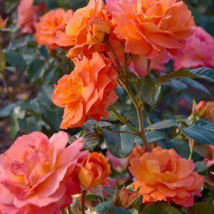Rózsa Rosa Morning Sun