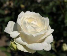 Rózsa Rosa White Symphony